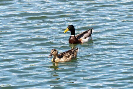 Birds and animals in wildlife. Mallard Duck, Anas platyrhynchos.