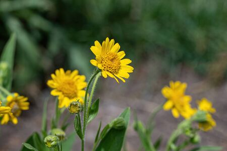 Yellow Arnica (Arnica Montana) herb blossom with nice bokeh. Shallow depth of field
