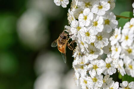 Macro photo of Bee collecting  pollen from flower in nature. Selective focus