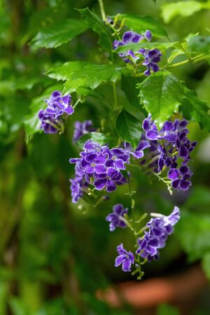 Duranta erecta is a species of flowering shrub in the verbena family Verbenaceae. Common names include golden dewdrop, pigeon berry, and skyflower Фото со стока