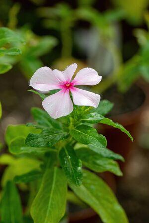 Madagascar rosy periwinkle - Latin name - Catharanthus roseus (Vinca rosea)