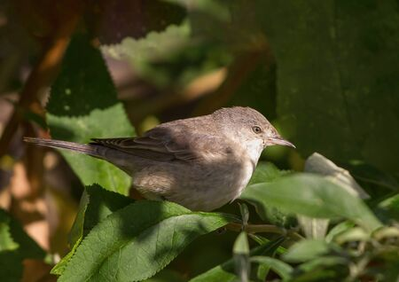 The barred warbler (Sylvia nisoria) is a typical warbler which breeds across temperate regions of central and eastern Europe Reklamní fotografie