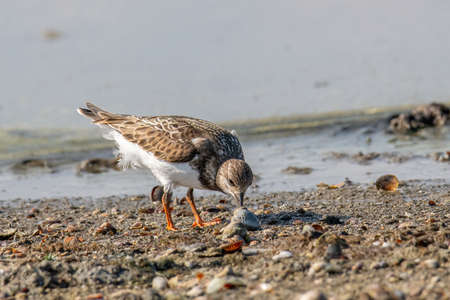 Ruddy Turnstone (Arenaria interpres) in natural habitat