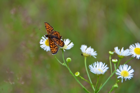 Butterfly on daisies Stock Photo