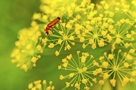 Red insect on yellow flower Stock Photo
