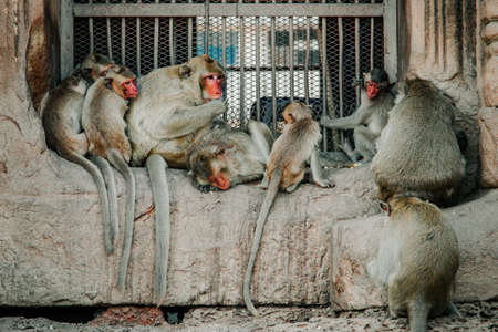 Monkey at Triple Crown Castle (Phra Prang Sam Yod) Lopburi, Thailand. Religious buildings constructed by the ancient Khmer art. select focus Monkey Relax at Prang Sam Yod, Lopburi, Thailand