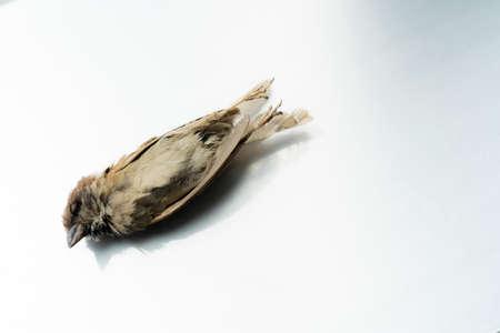 Dead House Sparrow , dead bird background in nature, isolated dead bird on white. 版權商用圖片