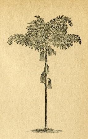 fishtail: Caryota - fishtail palm - old illustration by unknown artist from Botanika Szkolna na Klasy Nizsze, author Jozef Rostafinski, published by W.L. Anczyc, Krakow and Warsaw, 1911