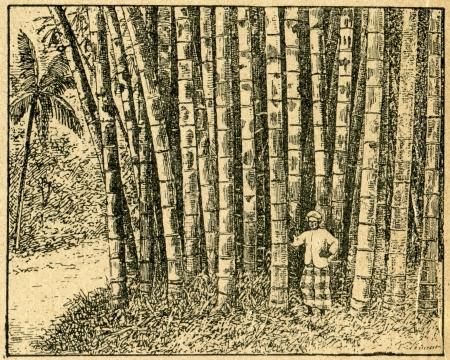 black and white forest: Huge bamboo plants - old illustration by unknown artist from Botanika Szkolna na Klasy Nizsze, author Jozef Rostafinski, published by W.L. Anczyc, Krakow and Warsaw, 1911