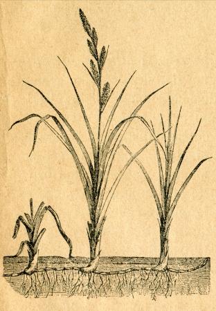 carex: Sand sedge - old illustration by unknown artist from Botanika Szkolna na Klasy Nizsze, author Jozef Rostafinski, published by W.L. Anczyc, Krakow and Warsaw, 1911