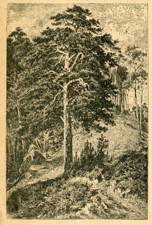 pinus sylvestris: Scots Pine (Pinus sylvestris) - old illustration by unknown artist from Botanika Szkolna na Klasy Nizsze, author Jozef Rostafinski, published by W.L. Anczyc, Krakow and Warsaw, 1911