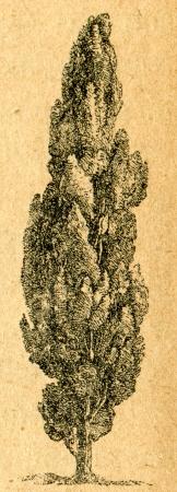 Cypress - old illustration by unknown artist from Botanika Szkolna na Klasy Nizsze, author Jozef Rostafinski, published by W.L. Anczyc, Krakow and Warsaw, 1911 Redactioneel