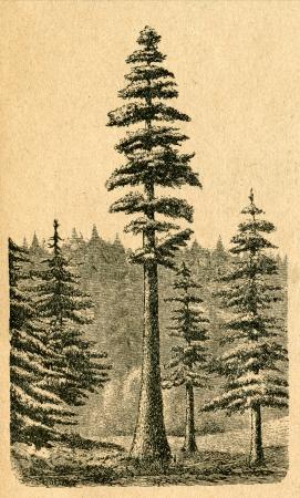 redwood: Sequoia in California - old illustration by unknown artist from Botanika Szkolna na Klasy Nizsze, author Jozef Rostafinski, published by W.L. Anczyc, Krakow and Warsaw, 1911 Editorial