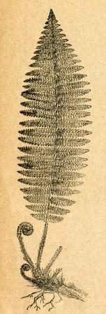 Asplenium - old illustration by unknown artist from Botanika Szkolna na Klasy Nizsze, author Jozef Rostafinski, published by W.L. Anczyc, Krakow and Warsaw, 1911  Редакционное