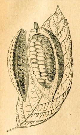 Cacao tree - leaf and open fruit - old illustration by unknown artist from Botanika Szkolna na Klasy Nizsze, author Jozef Rostafinski, published by W.L. Anczyc, Krakow and Warsaw, 1911
