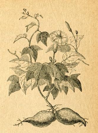 Sweet potato - old illustration by unknown artist from Botanika Szkolna na Klasy Nizsze, author Jozef Rostafinski, published by W.L. Anczyc, Krakow and Warsaw, 1911  Redactioneel