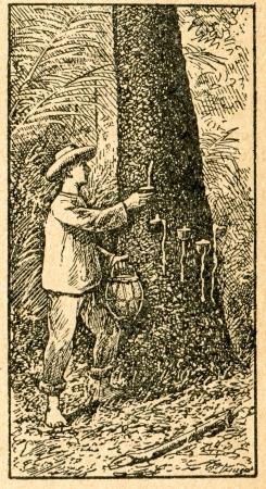 caoutchouc: Harvesting caoutchouc - old illustration by unknown artist from Botanika Szkolna na Klasy Nizsze, author Jozef Rostafinski, published by W.L. Anczyc, Krakow and Warsaw, 1911 Editorial