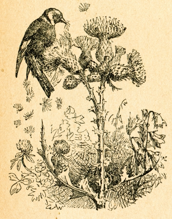 goldfinch: Goldfinch eating thistle seeds, old illustration by unknown artist from Botanika Szkolna na Klasy Nizsze, author Jozef Rostafinski, published by W.L. Anczyc, Krakow and Warsaw, 1911