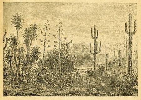 century plant: Mexican landscape - old illustration by unknown artist from Botanika Szkolna na Klasy Nizsze, author Jozef Rostafinski, published by W.L. Anczyc, Krakow and Warsaw, 1911
