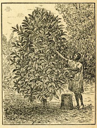 na: Harvesting coffee beans - old illustration by unknown artist from Botanika Szkolna na Klasy Nizsze, author Jozef Rostafinski, published by W.L. Anczyc, Krakow and Warsaw, 1911 Editorial
