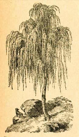birch tree: Weeping birch - old illustration by unknown artist from Botanika Szkolna na Klasy Nizsze, author Jozef Rostafinski, published by W.L. Anczyc, Krakow and Warsaw, 1911