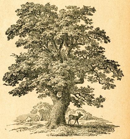 Oak tree - old illustration by unknown artist from Botanika Szkolna na Klasy Nizsze, author Jozef Rostafinski, published by W.L. Anczyc, Krakow and Warsaw, 1911  Editorial