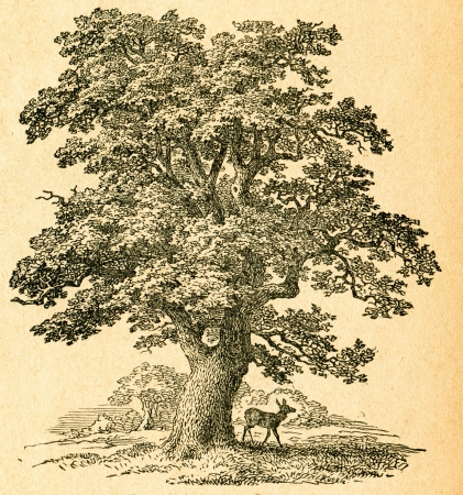 roble arbol: Roble - viejo ejemplo de artista desconocido de Botanika Szkolna na Klasy Nizsze, autor Jozef Rostafinski, publicado por WL Anczyc, Cracovia y Varsovia, 1911 Editorial