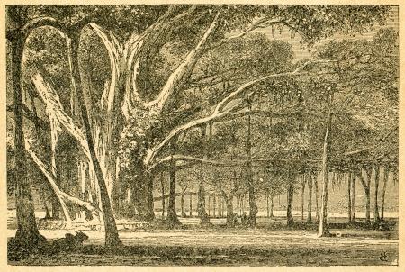banyan tree: Banyan - old illustration by unknown artist from Botanika Szkolna na Klasy Nizsze, author Jozef Rostafinski, published by W.L. Anczyc, Krakow and Warsaw, 1911