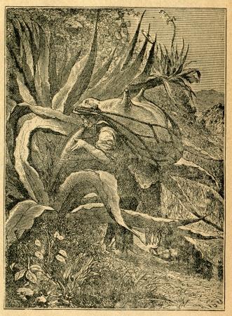 Mexicaanse oogsten agave sap en het houden van een leren tas - oude illustratie door onbekende kunstenaar uit Botanika Szkolna na Klasy Nizsze, auteur Jozef Rostafinski, uitgegeven door WL Anczyc, Krakau en Warschau, 1911 Stockfoto - 15079256