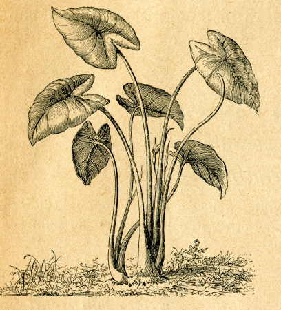 taro: Colocasia esculenta - old illustration by unknown artist from Botanika Szkolna na Klasy Nizsze, author Jozef Rostafinski, published by W.L. Anczyc, Krakow and Warsaw, 1911
