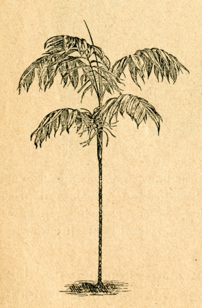 Chamaedorea palm - old illustration by unknown artist from Botanika Szkolna na Klasy Nizsze, author Jozef Rostafinski, published by W.L. Anczyc, Krakow and Warsaw, 1911