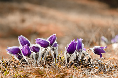 Little bunch of pasque flowers in the morning sun Stock Photo