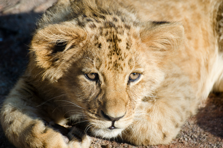 Lion cub lying happily and resting and looking curiously