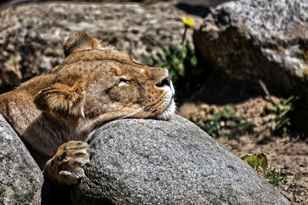 Detail of a lion lying and sleeping on stone Stock Photo
