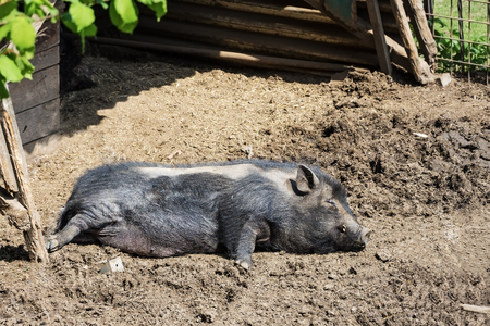 Black pig happily lying and resting in the mud. A lazy pig sprawled in a muddy backyard.