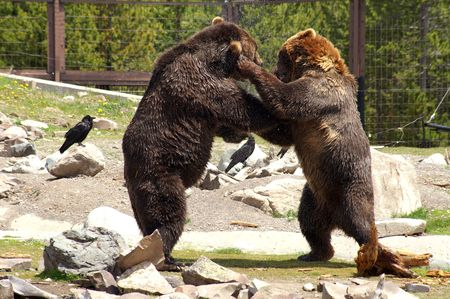 Two Grizzlys photo