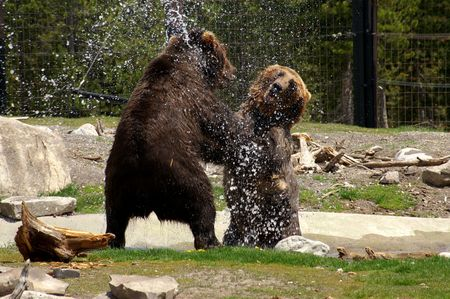 Grizzly bears playing photo