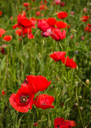Close-up of brightly red colored poppy flowers in a field in spring photo