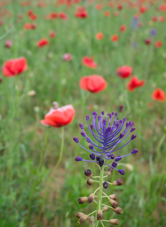 Purple colored wild flower in a field of brightly red colored poppy flowers in spring photo