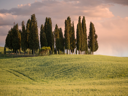 Group of cypress tree in Tuscan landscape of the Val d'Orcia as the sun starts to set and the sky turns pink photo