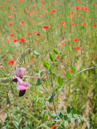 swaying: Purple colored wild flower in a field of brightly red colored poppy flowers in spring