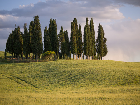 Group of cypress tree in Tuscan landscape of the Val d'Orcia as the sun starts to set photo