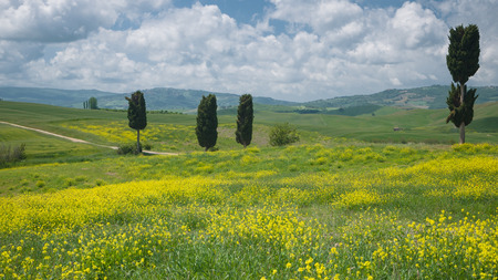 Typical view on cypress trees scattered in a wide Tuscan landscape covered with yellow wildflowers photo