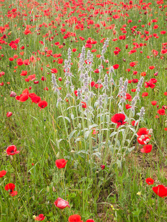 Close-up of brightly red colored poppy flowers and a wildflower in a field photo