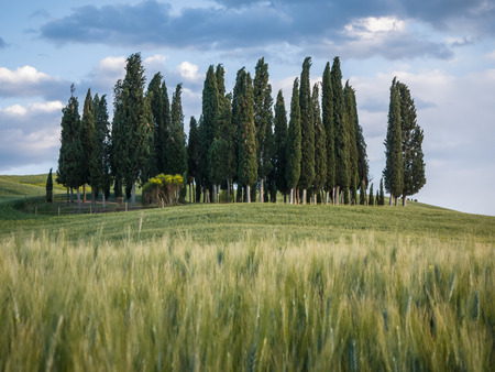 val dorcia: Group of cypress trees in Tuscan landscape of the Val dOrcia at dusk
