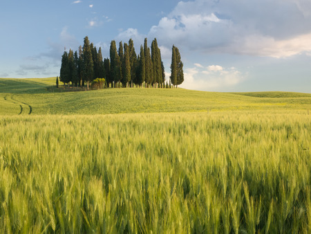 Group of cypress trees in Tuscan landscape of the Val d'Orcia as the sun starts to set photo