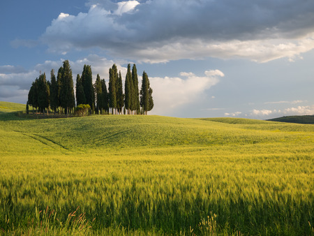 val dorcia: Group of cypress trees in Tuscan landscape of the Val dOrcia as the sun starts to set