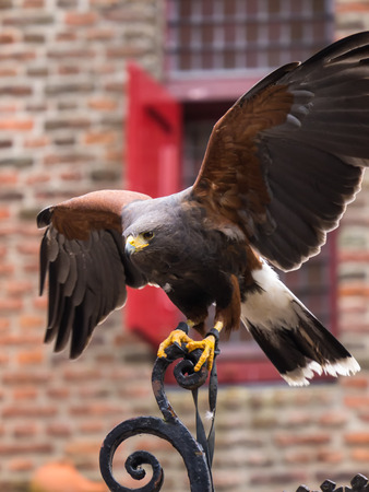 American Harris Hawk spreads his wings to fly away Imagens