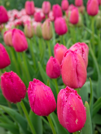 serrated: Pink tulips with serrated petals