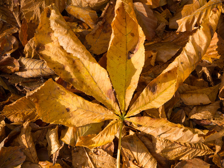 palmate: The palmate compound leaf of a chestnut tree Stock Photo
